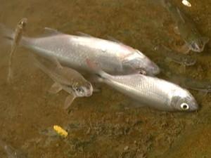Peixes foram encontrados mortos às margens do Rio Itapecerica em Divinópolis (Foto: Reprodução/TV Integração)
