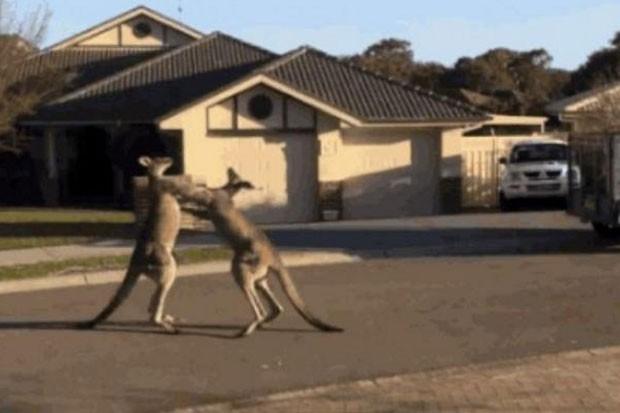 Vídeo mostra dois cangurus lutando em rua de Central Coast (Foto: Reprodução/LiveLeak/Achilles)