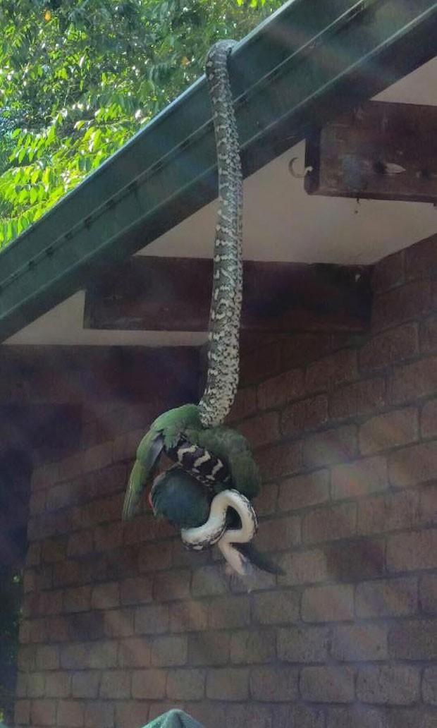 Australiano flagrou imagem incrível de cobra capturando papagaio (Foto: Reprodução/Facebook/Sunshine Coast Snake Catchers 24/7)