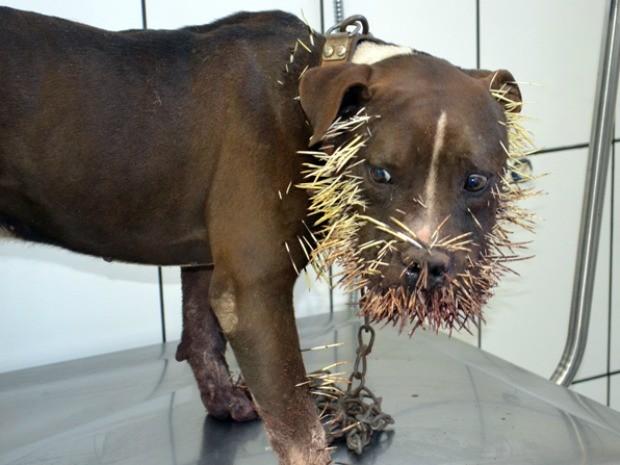Cachorro fica ferido ao atacar e matar porco espinho em MS (Foto: Maikon Leal/Coxim Agora)