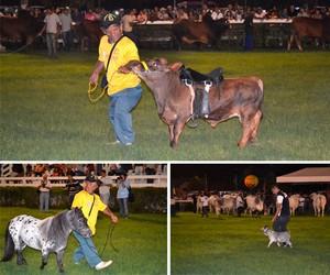 Mini bois, mini cavalos e mini cabras roubam a cena (Jocaff Souza/G1)