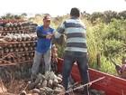 Cidade do MA trabalha para manter título de maior produtora de abacaxi