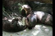 Pesquisadores do Museu Goeldi comemoram namoro de ariranhas (Reprodução/TV Liberal)