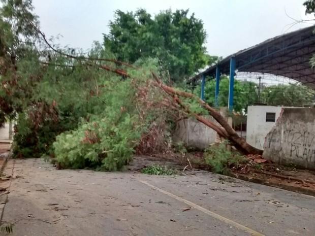 No bairro Caravelas, árvore derrubou muro de uma escola (Foto: Patrícia Belo / G1)