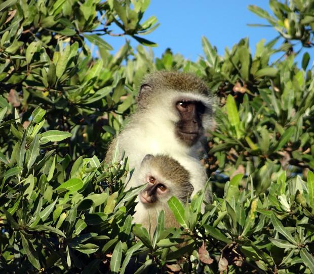 Macaco-verde segura filhote no topo de uma árvore em parque ecológico de Phinda (Foto: Matthew Craft/AP)
