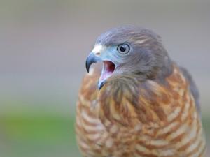 Aves de rapina são o foco inicial do Ceras (Foto: Braycon de Paula/TV Cabo Branco)