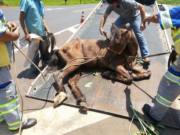 Cavalo foi levado para Centro de Zoonoses e passa bem (Foto: Divulgação/Polícia Ambiental)