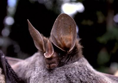 revistagloborural.globo.com - Como afugentar morcegos?