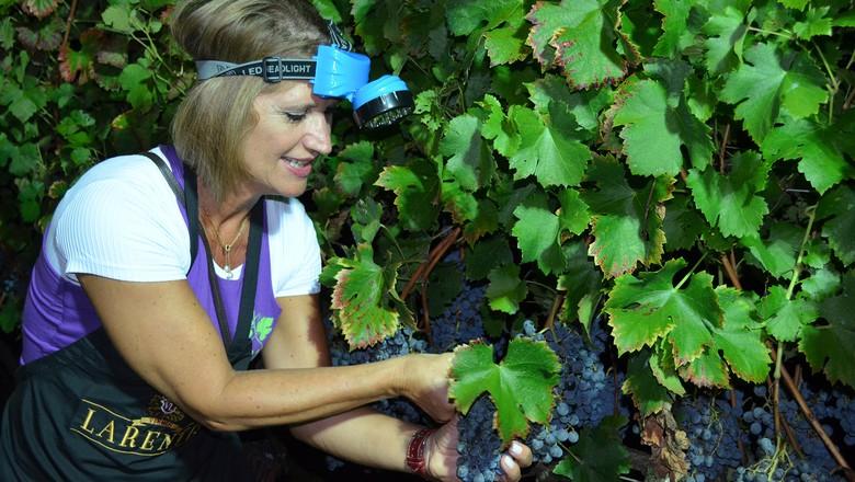 colheita uva noturna (Foto: Cristiane Moro/Divulgação)