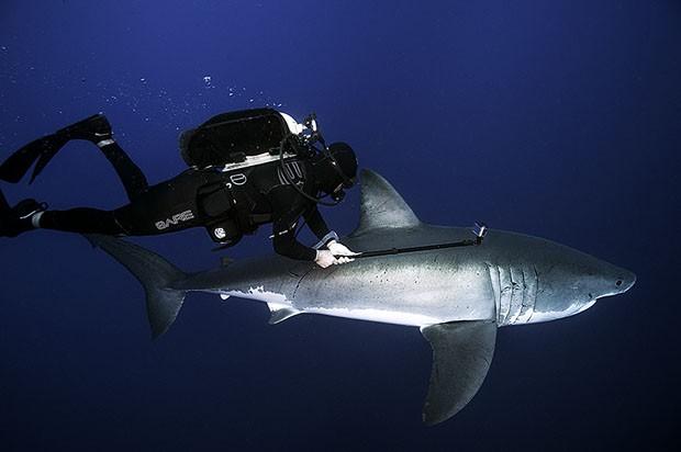 Tubarão passa ao lado de tubarão branco no Caribe (Foto: Daniel Botelho)