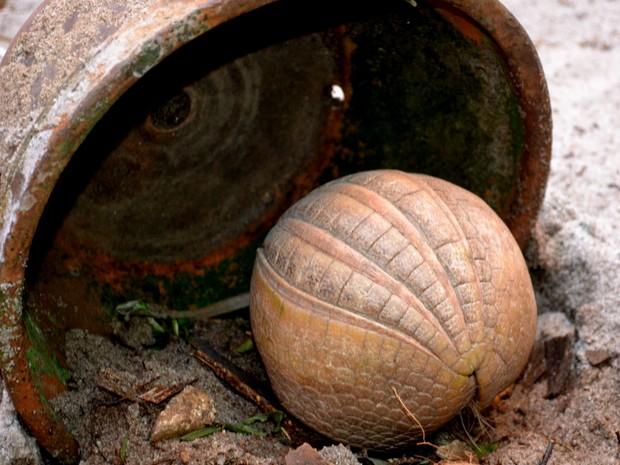 Tatu-bola dispensa explicações sobre o seu nome (Foto: Esther Nazareth / RioZoo / Divulgação)
