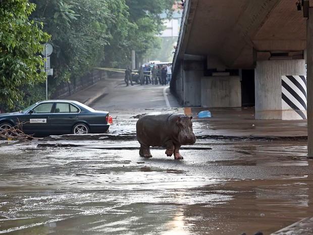 Hipopótamo anda por Tbilisi (Foto: Beso Gulashvili / AFP Photo)