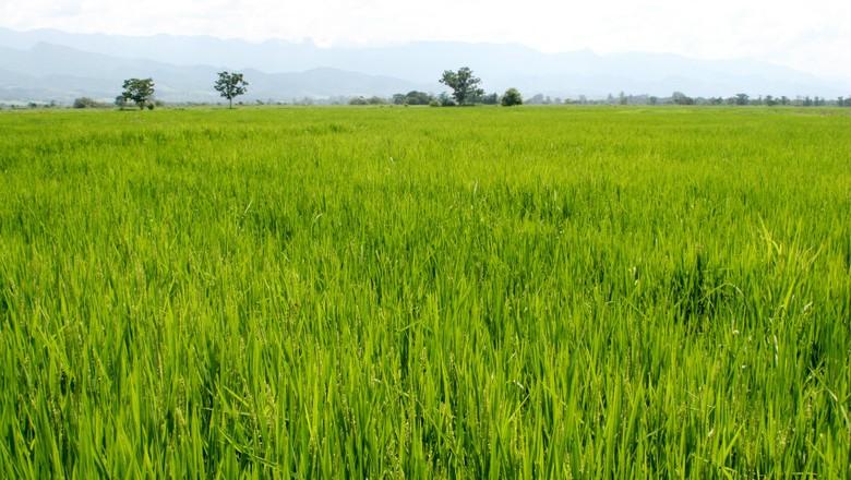 agricultura_arroz_arrozal (Foto: Manoel Marques / Editora Globo)