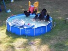 Casal flagra mamãe ursa e 5 filhotes se divertindo em piscina nos EUA