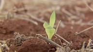 Trabalho nas lavouras de milho está lento por causa da colheita de soja