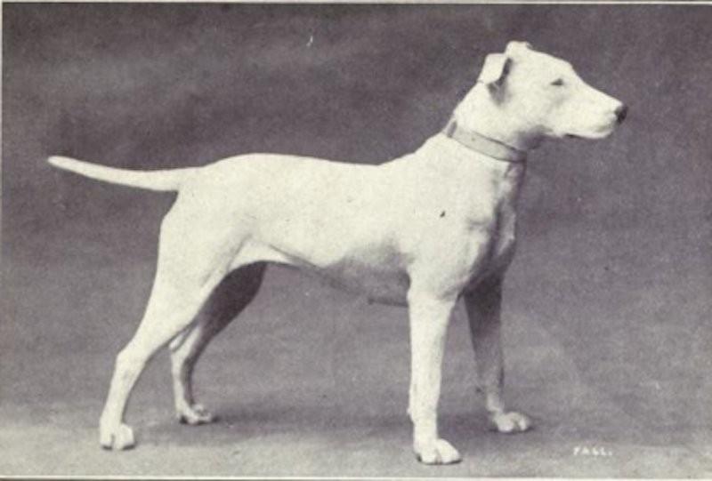 bull terrier (Foto: Dogs of All Nation)