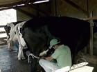 Sistema de cooperativa beneficia pequenos produtores de leite de MG