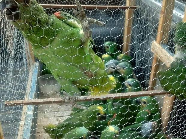 Filhotes de araras encontrados em Gurupi (Foto: 3ª Companhia de Polícia Ambiental de Gurupi/ Divulgação)