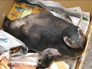 Pinguim achado em Salvador Bahia (Foto: Reprodução/ TV Bahia)
