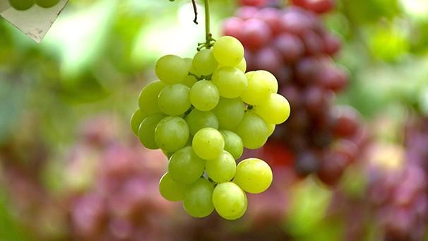 Produtores da região apostam em novas variedades de uvas (Foto: Reprodução TV Fronteira)