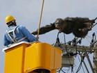 Chimpanzé fica agressivo após fugir de zoo no Japão e subir em poste
