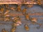 Apicultores têm dificuldades para recuperar colmeias após mortandade