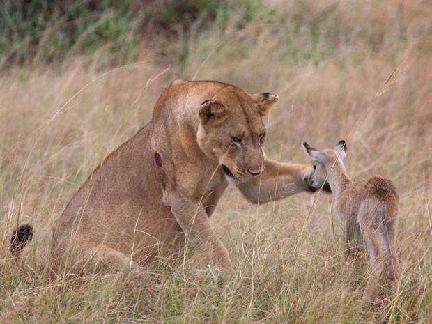 Momento em que a leoa parece acariciar filhote de antílope, enquanto, na verdade, tentava fazer o filhote se afastar. (Foto: Caters)