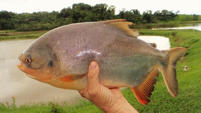 Resultado de imagem para peixe tambatinga