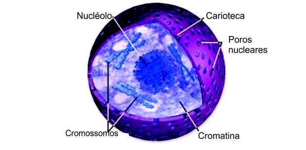 Núcleo e síntese proteica (Foto: Reprodução)