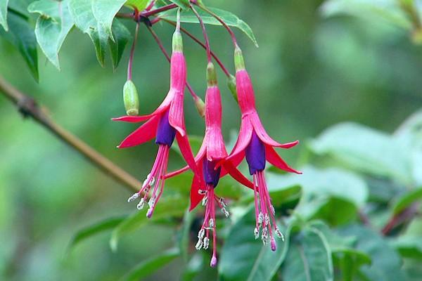 Com flores pendentes, essa planta possui várias cores e combinações (Foto: Arquivo TG)