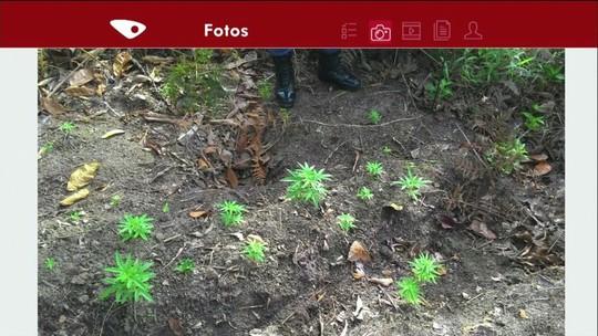 Plantação de maconha é encontrada em Divino de São Lourenço, ES