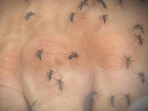 Mosquito Aedes aegypti é responsável por transmitir a chikungunya (Foto: Reprodução/ TV TEM)