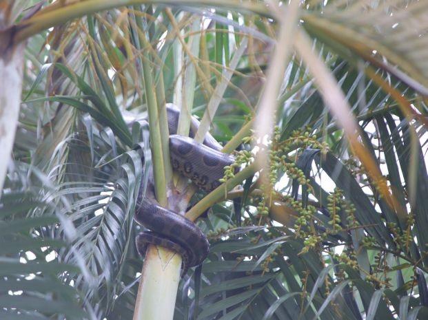 Cobra estava em uma árvore (Foto: J. Serafim / Divulgação)