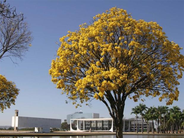 ipe de jardim botânico:Foto de ipê amarelo com Supremo Tribunal Federal ao fundo (Foto