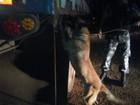 Cão da polícia acha 1,8 t de maconha em caminhão carregado com milho