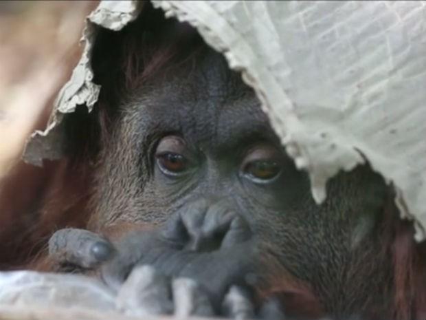 Sandra vive sozinha em uma jaula de zoológico na Argentina (Foto: Reprodução/G1)