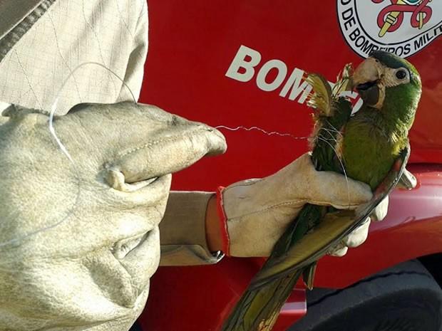 Periquitão-maracanã se enroscou em cerca elétrica e foi resgatado (Foto: Divulgação/Bombeiros Sinop (MT))