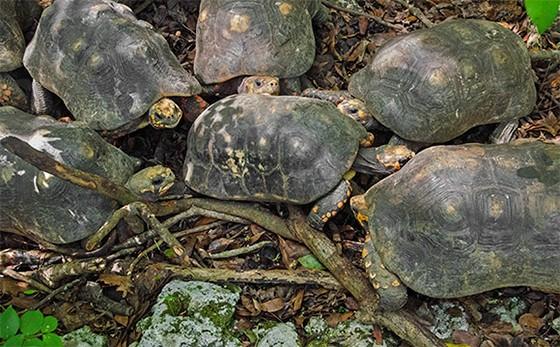 Cinco machos da espécie jabuti-piranga cercam uma fêmea (Foto: © Haroldo Castro/Época)