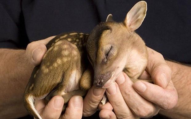 Este pequeno veado órfão foi resgatado e tem apenas 500 gramas (Foto: Jeff Moore/onebigphoto.com)