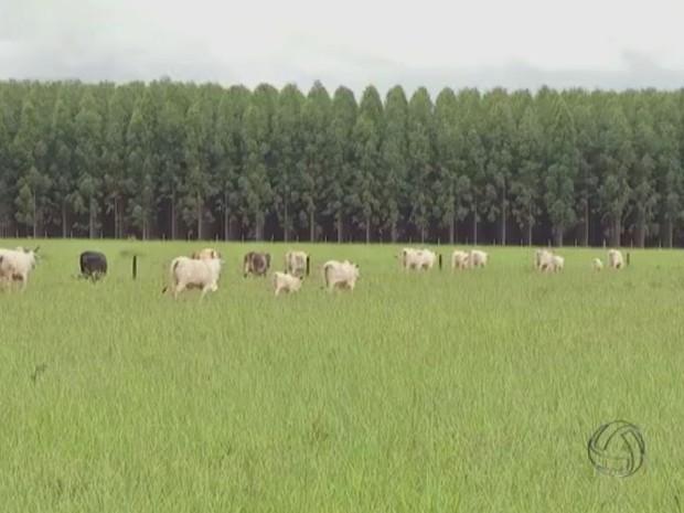 Fazenda Chaparral investiu na integração agricultura-pecuária-floresta para explorar todo seu potencial produtivo e se tornou modelo em MS (Foto: Reprodução/TV Morena)