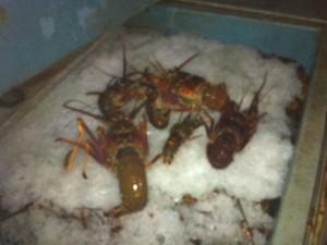 Ibama apreende 1 tonelada de lagosta em São Mateus (Foto: Reprodução/ TV Gazeta)