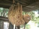 Bicho-preguiça que teve unhas arrancadas na BA é solto em reserva
