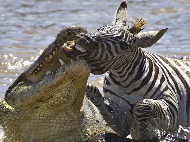 A fotógrafa Gabriela Staebler flagrou o momento em que uma zebra adulta foi atacada por um crocodilo faminto no Rio Mara, no Quênia. (Foto: Gabriela Staebler/Caters)