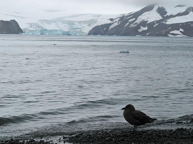 Exemplar de Skua, ave que é chamada de urubu da Antártica e faz parte da biodiversidade do continente gelado (Foto: Eduardo Carvalho/G1)