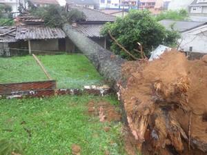 Uma árvore araucária caiu sobre uma árvore no bairro Vista Alegre, em Curitiba (Foto: Tony Mattoso/RPCTV)