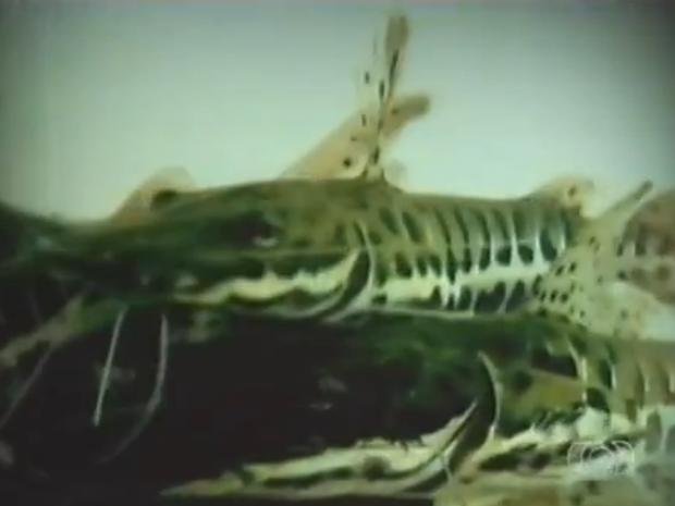 Com a piracema, fica proibida a pesca no Tocantins (Foto: Reprodução/TV Anhanguera)