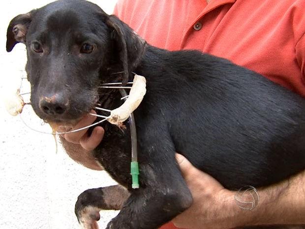 Cachorro passou por cirurgia, mas corre o risco de ser sacrificado (Foto: Reprodução/TVCA)