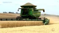 No fim da colheita de trigo, produtores encontram problemas