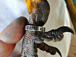 Aves receberam anilhas para serem monitoradas (Foto: César Soares/Ibama-MT)