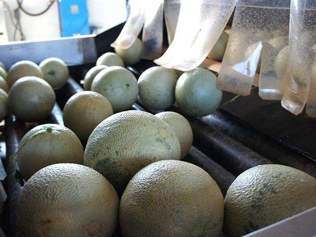 Melão cantaloupe americano é um dos tipos mais exportados para Inglaterra e Holanda (Foto: Anderson Barbosa/G1)